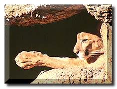 Mountain Lion Attacks
