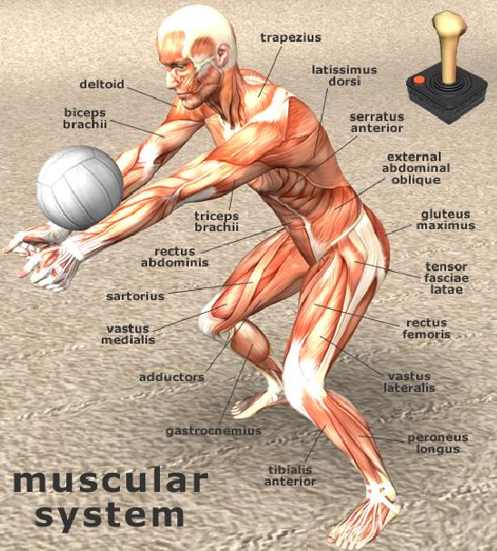 Play Free Anatomy Jigsaw Volleyball Player Online Games