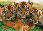 7art Stunning Tigers ScreenSaver