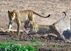 Leopard vs Lion Pride Fight